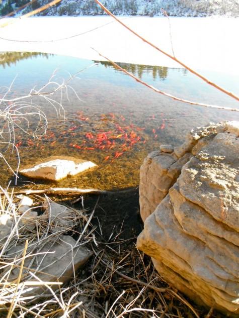 Goldfish in Turtle Lake!